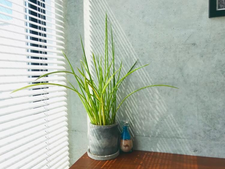 観葉植物。サンセベリアのバキュラ